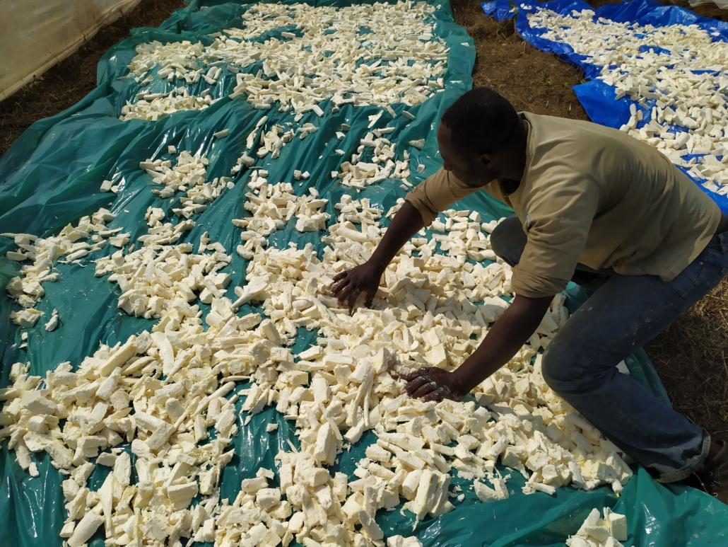 Verarbeitung von Manioc in der Lernbauernhof CEFORUSA in Santchou
